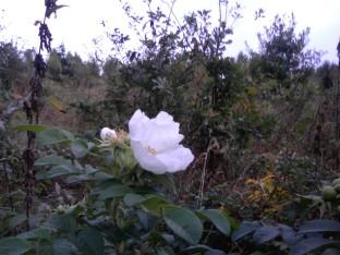 Samotna biała róża