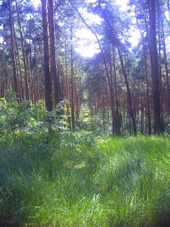 Las sosnowy w Miękini