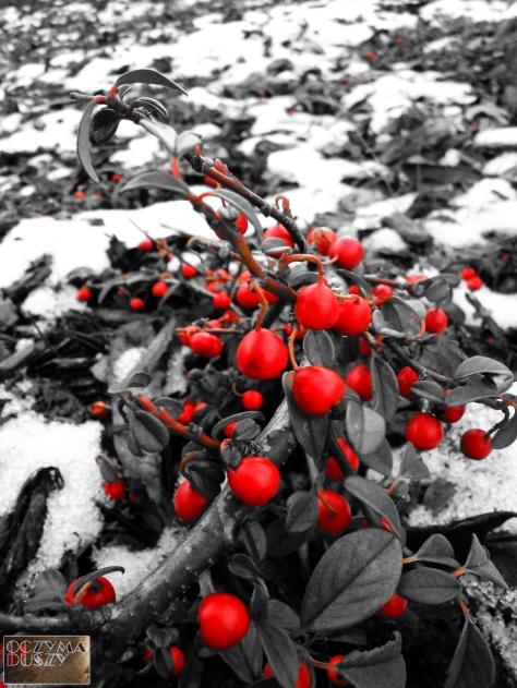 Krople krwi na śniegu