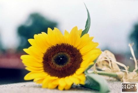 Słonecznik 1