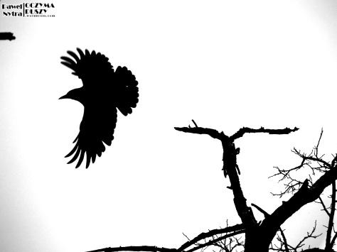 Gawron (Corvus frugilegus) w locie