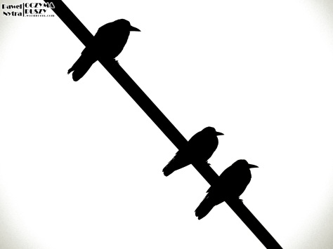 Gawrony (Corvus frugilegus) (2)