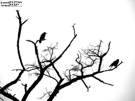 Gawrony (Corvus frugilegus) (3)