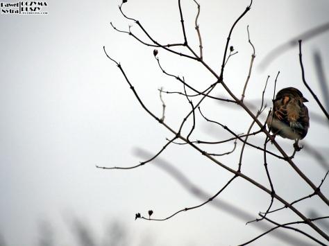 Wróbel domowy (Passer domesticus) (2)