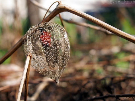 Miechunka (Physalis L.)