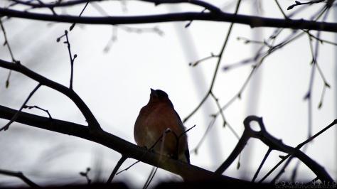 Zięba zwyczajna, samiec (Fringilla coelebs)