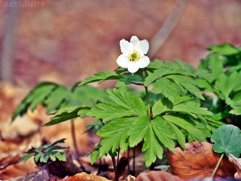 Kwiatów w Lesie Bukowym też nie brakuje.