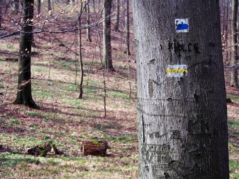 Duża Ścieżka Świętej Jadwigi jest oznaczona niebieskim znakiem, widocznym na drzewie