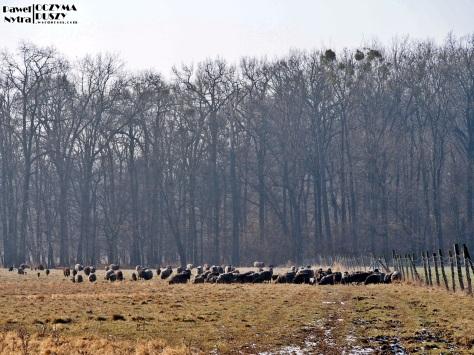 Na pobliskiej polanie pasły się owce..