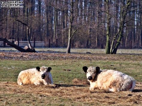 Krowy ciekawie wyglądającej rasy. Ale mają futro!