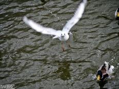 Wodne harce mew i kaczek 2