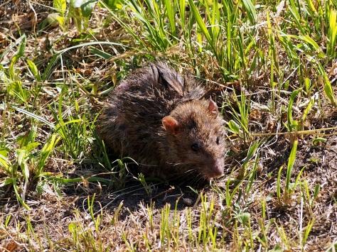 Szczur 1