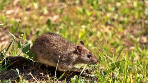 Szczur 2