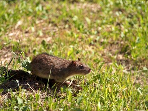 Szczur 3