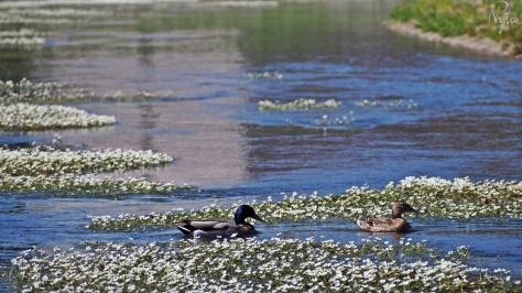 Białe kaczeńce i kaczki na Kaczawie