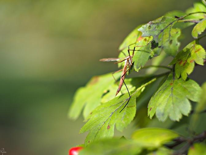 Komarnica warzywna, koziułka warzywna, koziułkowiec - samica (Tipula oleracea, syn. T. pratensis, T. submendosa)