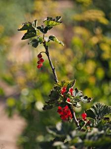 Porzeczka czerwona (Ribes rubrum L.)
