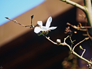 Kwiat drzewa magnolii, należącego do rodziny magnoliowatych (Magnoliaceae)