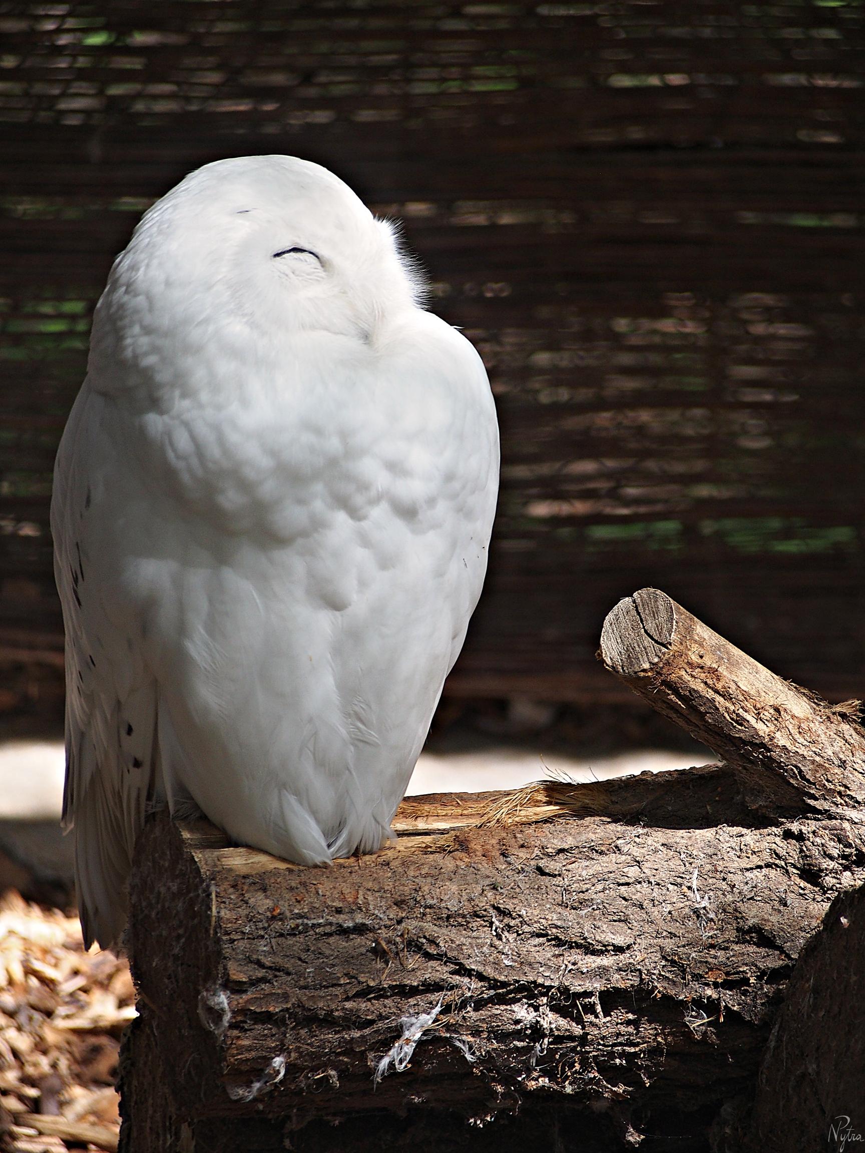 Puchacz śnieżny, sowa śnieżna (Bubo scandiacus)