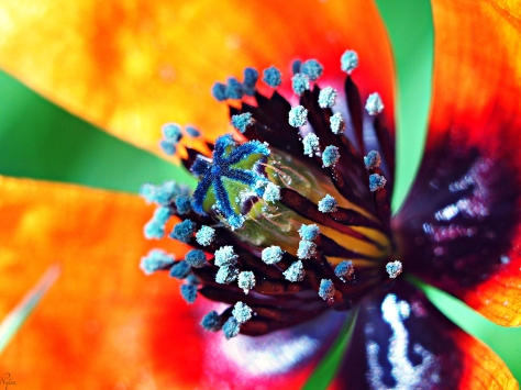 Mak mieszańcowy, mak pośredni (Papaver hybridum L.)