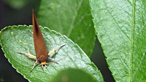 Crassa unitella, ćma z rodziny Oecophoridae.