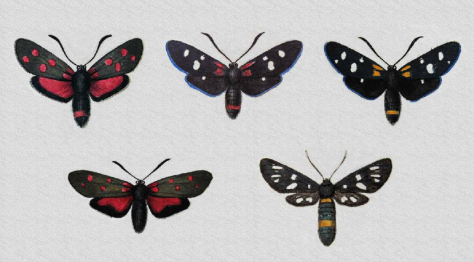 figure-4-burnet-moth-mimicry-the-top-row-depicts-mimetic-forms-red-peucedanoid