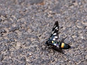 Kraśnik goryszowiec (Zygaena ephialtes)
